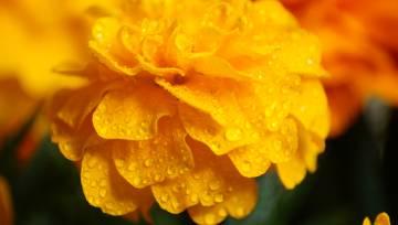 Dzeltens zieds