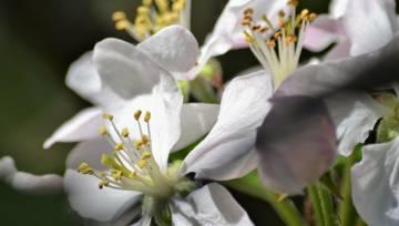 Balti ziedi