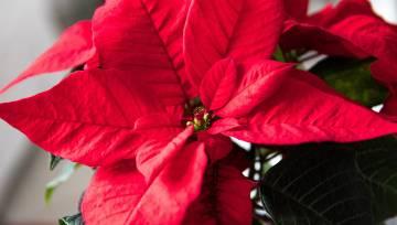 Ziemasvētku zieds