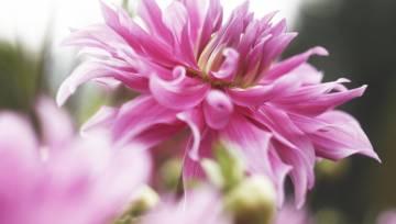 Rozā zieds