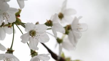 Balti ziedi 2